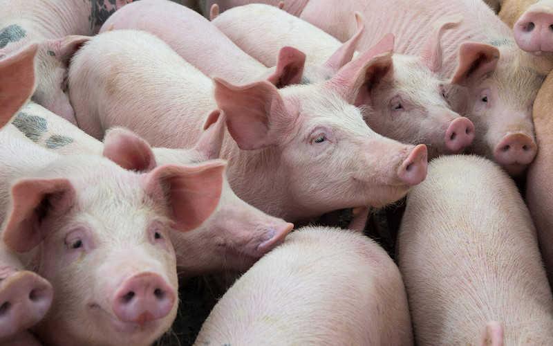 Polski rolnikzostał zjedzony przez świnie