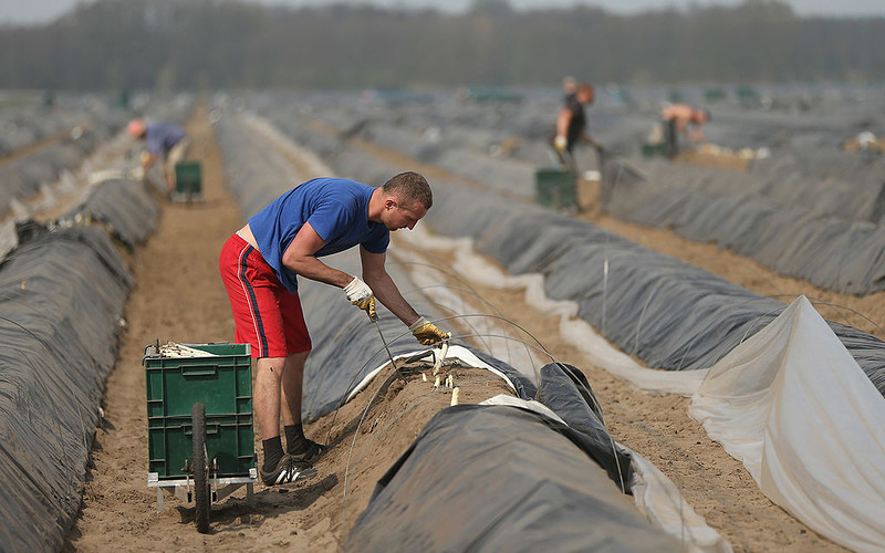 Bild: Asparagus farms may lack thousands of Polish workers