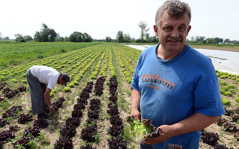 """Polscy rolnicy proszą o pomoc. """"Bez imigrantów zbiory są zagrożone"""""""