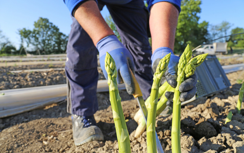 Germany: Lack of foreign workers has resulted in smaller asparagus harvests