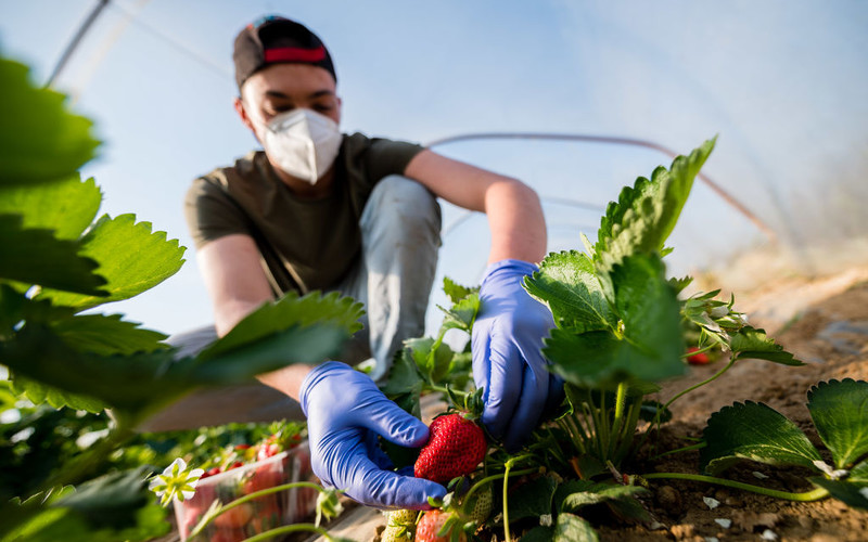 Spain to build camp for migrant strawberry pickers