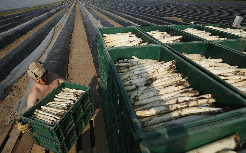 The Germans are afraid that Polish workers will not get to the asparagus harvest