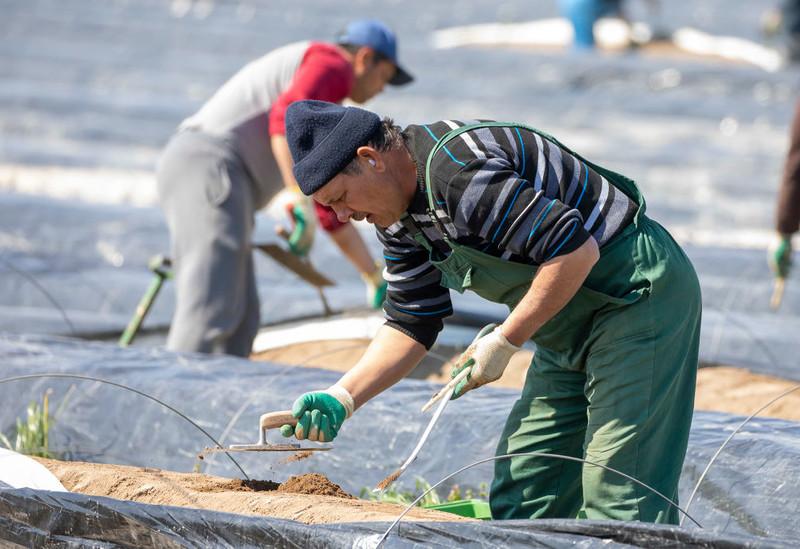 German media: For Poles, working on asparagus harvesting is no longer profitable