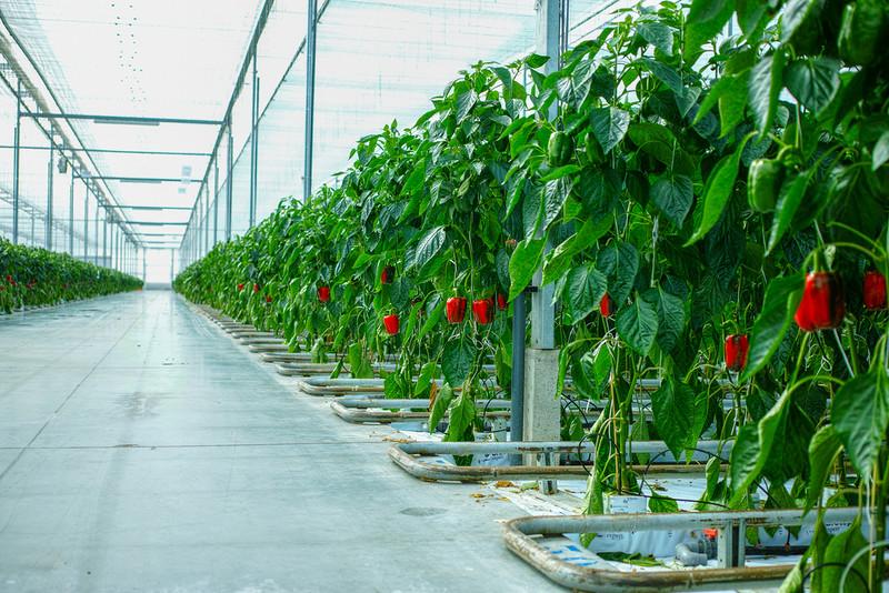 Holandia: Polacy już nie tacy chętni do pracy w rolnictwie i ogrodnictwie