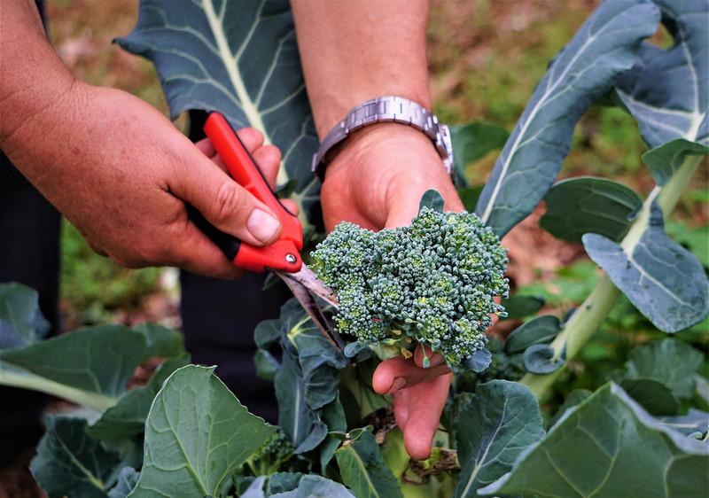 Brakuje pracowników do zbierania brokułów. Rolnicy oferują nawet £30 za godzinę