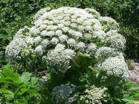 Najbardziej niebezpieczna roślina w UK rozprzestrzenia się w niepokojącym tempie