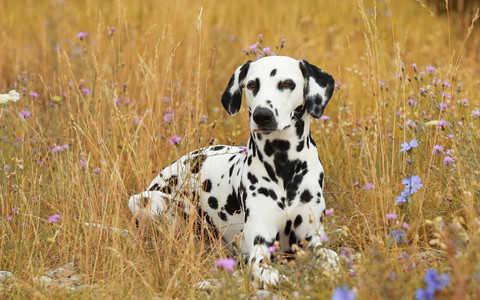Najbliżej idealnej rasy psów są... dalmatyńczyki?
